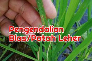Penyakit blas padi