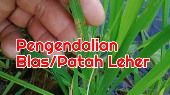 Penyakit Blas (Patah Leher) Disemprot Fungisida Apa?