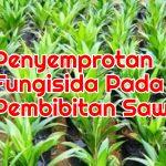 Penyemprotan Fungisida Pada Persemian Kelapa Sawit