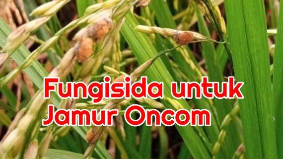 Jamur Oncom (Ostilago) Disemprot Fungisida Apa?