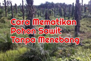 Cara Mematikan Pohon Sawit